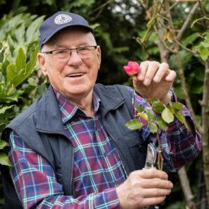 Senior pflegt die Rosen in seinem Garten